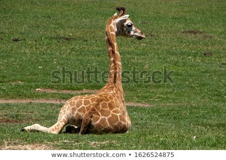 baringo giraffe stock photo © sirylok