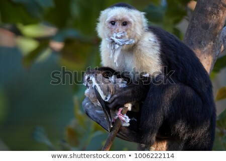 Stock photo: capuchin monkey eating bird