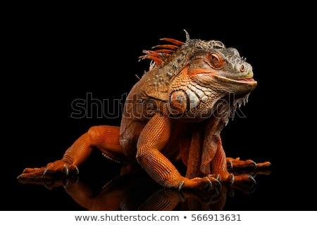 iguana in the wild with black background stock photo © pxhidalgo
