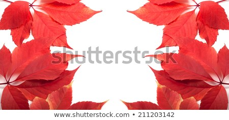 Red Virginia creeper in autumn Stock photo © dla4