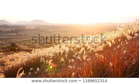Reed flower at colored sky Stock photo © olandsfokus