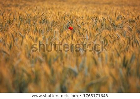 Haşhaş doğa yaz alan yeşil Stok fotoğraf © tilo