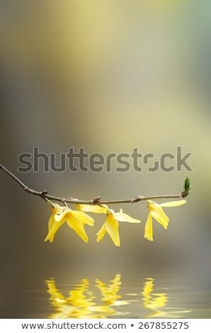 yellow forsythia flowering branch over water stock photo © frannyanne
