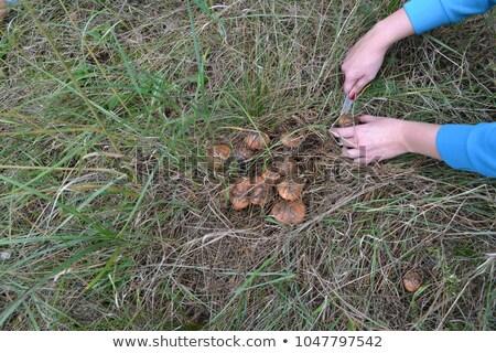 коричневый · гриб · скрытый · зеленый · растений · лес - Сток-фото © miracky