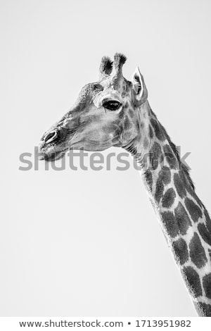 Zsiráfok nyáj szavanna vad Kenya Afrika Stock fotó © master1305