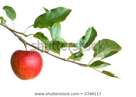 Red apples on branch in orchard Stock photo © stevanovicigor