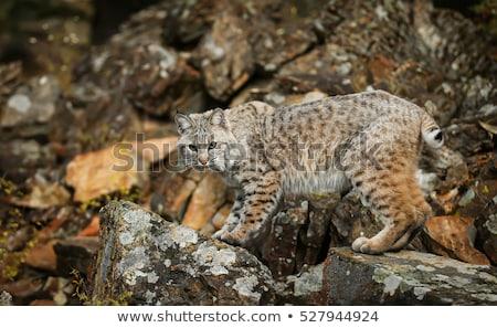 bobcat lynx rufus stock photo © yhelfman