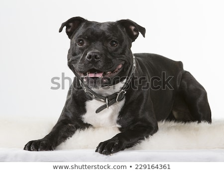 american stafforshire terrier stock photo © cynoclub