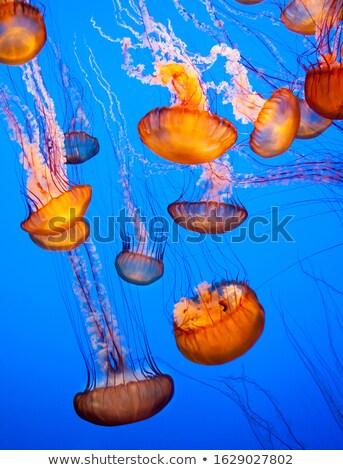 Narancs meduza akvárium kék víz család Stock fotó © vapi