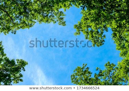 chêne · vert · prairie · ciel · lumière · nuages - photo stock © almir1968
