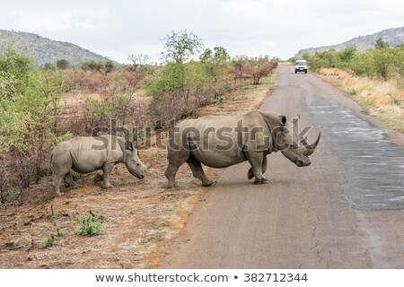 Close up of a Black rhino walking on the road in black and white. Stock photo © simoneeman