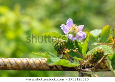 Macro of blooming fruit tree branch Stock photo © mady70