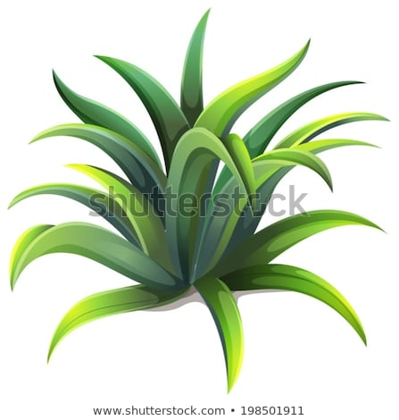 Anão agave planta ilustração branco fundo Foto stock © bluering