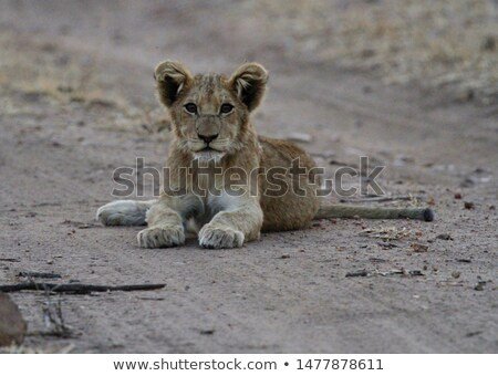 Lion cub looking down in the Kruger. stock photo © simoneeman