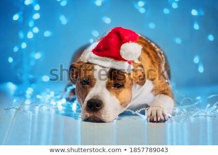 karácsony · kiskutyák · három · francia · szezonális · kutyakölyök - stock fotó © kb-photodesign