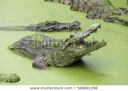 Crocodil deschide gură verde lac Imagine de stoc © Mikko