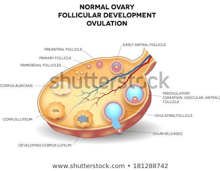 Normal ovary, follicular development and ovulation Stock photo © Tefi