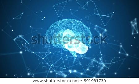 emberi · agy · anatómia · struktúra · 3d · illusztráció · izolált · orvosi - stock fotó © tussik