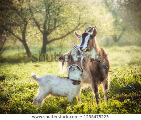Madre bebé cabra junto nino jóvenes Foto stock © mikdam
