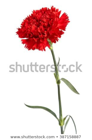 Kırmızı karanfil çiçek yalıtılmış beyaz yaprak Stok fotoğraf © orensila