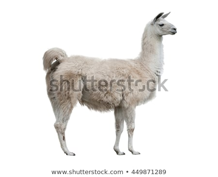 Brown alpaca on white background Stock photo © bluering