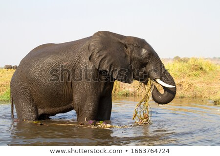 elephant eating grass in chobe stock photo © simoneeman