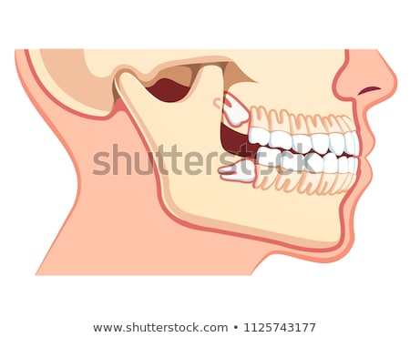 Dental jaw model vector cartoon illustration. Stock photo © RAStudio