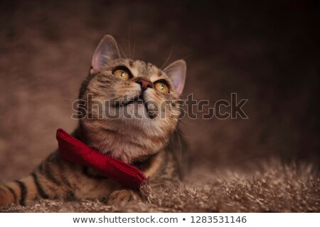 classy british fold cat lying and looking up to side Stock photo © feedough
