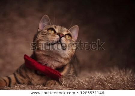 Stílusos brit macska felfelé néz oldal rózsaszín Stock fotó © feedough