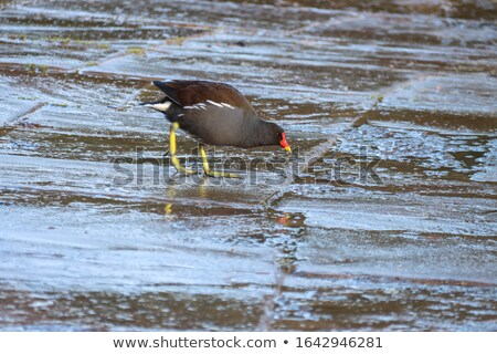 Hawaiian gallinule (Gallinula galeata sandvicensis) stock photo © dirkr