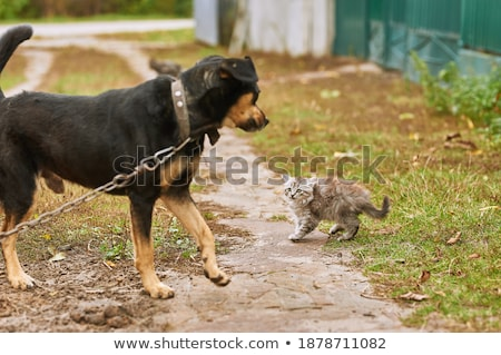 Stockfoto: Kitten Exotic Shorthair And Chihuahua
