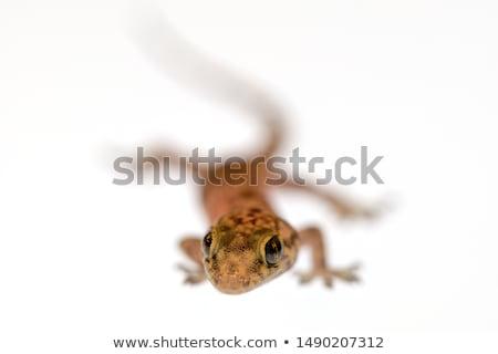 Mediterrán ház gekkó portré arc háttér Stock fotó © taviphoto