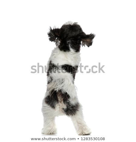 fluffy shih tzu standing on back paws looks up Stock photo © feedough