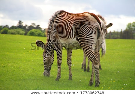 zebras eat green grass in safari park stock photo © galitskaya