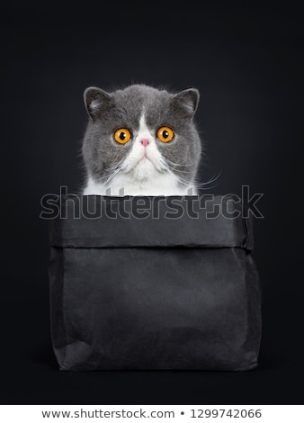 Stockfoto: Funny Exotic Shorthair Sitting In Black Paper Bag Looking In The Bag With Big Orange Eyes Isolated