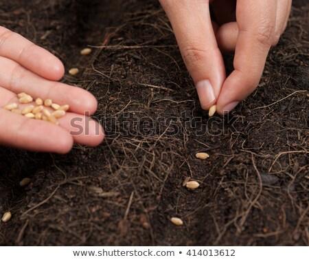 Stock fotó: Gardener sowing wheatgrass