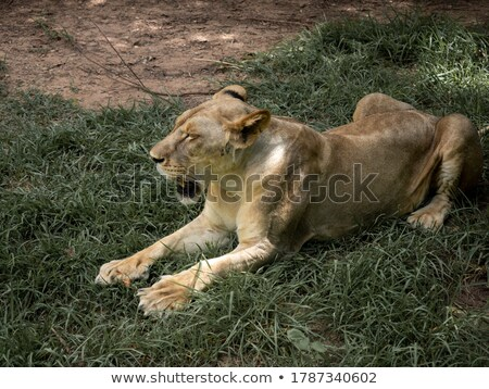 Female Leopard laying in the grass. Stock photo © simoneeman