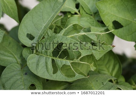 Scarabeo mangiare patate foglia agricola impianti Foto d'archivio © romvo