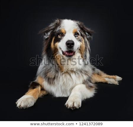 Beautiful adult Australian Shephard dog Stock photo © CatchyImages