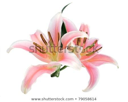 rosa · tigre · lírio · branco · natureza · luz - foto stock © nuttakit