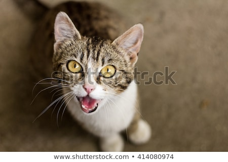 meowing cat Stock photo © cynoclub
