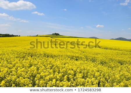 yellow field with oil seed rape  Stock photo © mikdam