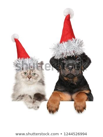 Kedi yavrusu rottweiler odak genç kedi köpek Stok fotoğraf © cynoclub