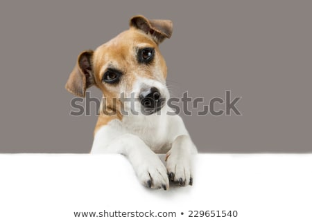 Smart pet dog looking at your message Stock photo © lovleah