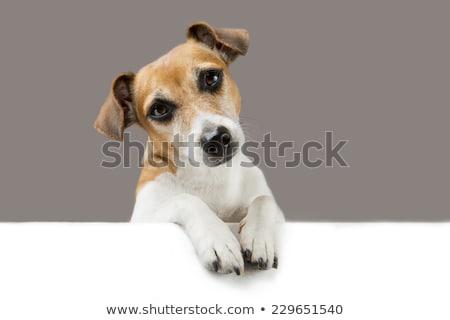 Foto stock: Inteligentes · mascota · perro · mirando · mensaje · inteligente