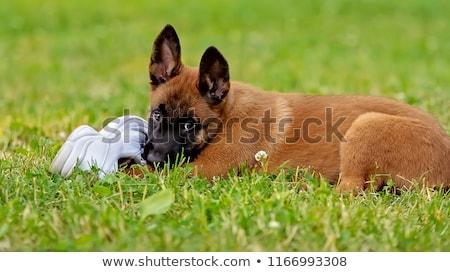 iki · çoban · yavru · beyaz · köpek · genç - stok fotoğraf © cynoclub