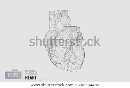 Cardiovascular Human Heart Stock photo © Lightsource