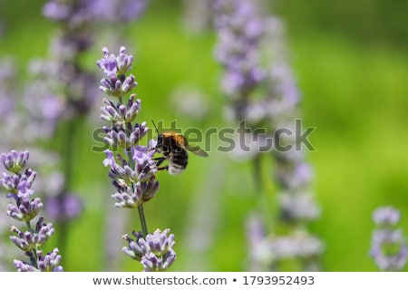 little bumblebee on lavender Stock photo © thomaseder
