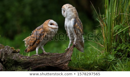 young barn owl stock photo © emattil
