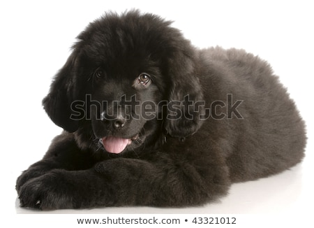 newfoundland puppy laying down - twelve weeks old Stock photo © willeecole